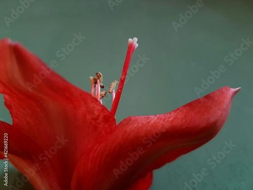 Obraz na plátně Close-up Of Pistil On Red Flower