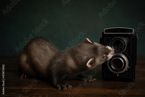 Vászonkép Curious Young Ferret Or Polecat Puppy In Stillife Scene With Vintage Camera Agai