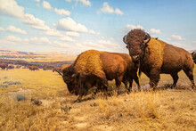 American Bison Diorama In Hall Of North American Mammals In American Museum Of Natural History, Nyc