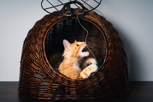 Close-up Of A Ginger Norwegian Forest Cat In Basket