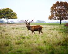 Deer On A Field