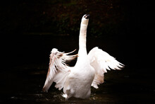 A Magical Swan Dance