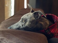 Wistful Close-up Of Whippet In Tartan Resting On Sofa At Home