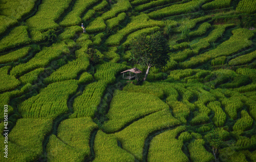Fototapeta High Angle View Of Rice Field
