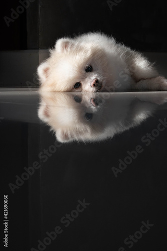 Fotografiet White Pomeranian Bored Laying On Floor With Reflection