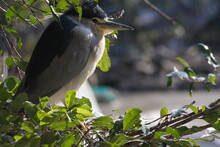 Black Crowned Night Heron Is Standing On The Tree Nest And Enjoy Sunning.