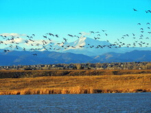 Canada Geese  In Flight And In The Water At Stearns Lake In Winter With A Long's Peak Back Drop In Boulder County,  Near Broomfield, Colorado