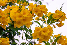 Yellow Flowers Blossom In Spring Time,flowers Blooming On Green Leaves And Tree Branches On Sky Background