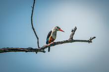 Grey-headed Kingfisher Perched On Branch Looking Down