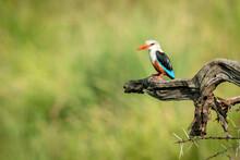 Grey-headed Kingfisher On Thornbush With Open Beak