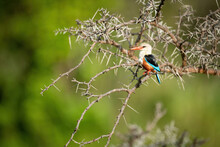 Grey-headed Kingfisher Perches On Thornbush With Catchlight