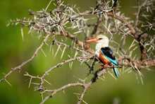 Grey-headed Kingfisher Perches In Thornbush With Catchlight