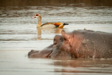 Egyptian Goose Swims Past Hippo In Waterhole