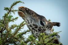 Close-up Of Masai Giraffe Nibbling Thornbush Branch