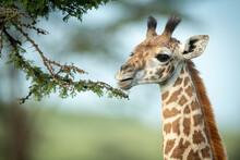 Close-up Of Masai Giraffe Nibbling On Thornbush