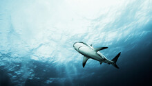 Low Angle View Of Shark Swimming In Sea
