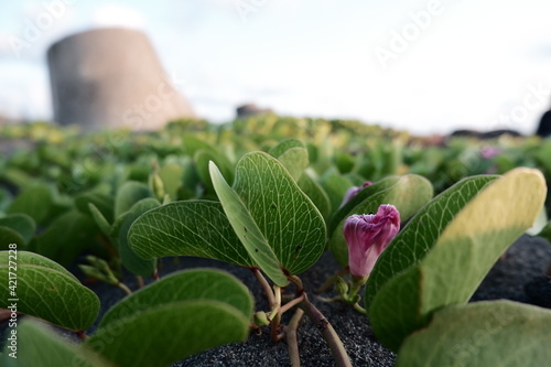 Fotografia bayhops plants grows on the upper parts of beaches and endures salted air