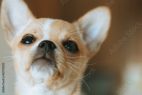 Tablou Canvas Close-up Portrait Of A Chihuahua Dog