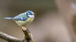 canvas print picture - bird, natur, wild lebende tiere, tier, blau, ast, wild, blaumeise, sitzen, schnabel