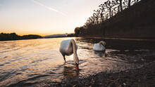 Swan In Lake At Sunset
