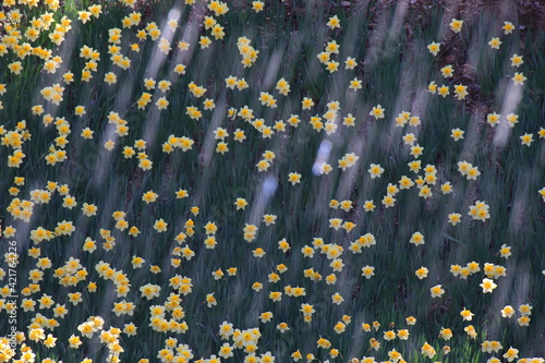 Fototapeta There's A Stream Of Water Passing Over The Daffodils, And It's Like A Shooting Star. obraz
