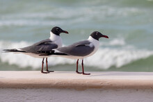 Laughing Gulls Perched On A Patio Wall  By Crashing Waves