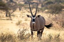 Oryx Standing In A Field