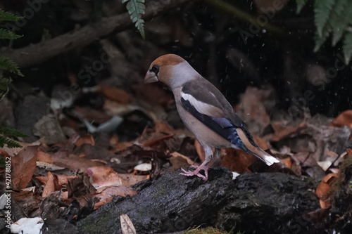 Obraz na plátně hawfinch in the forest