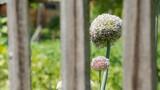 Kwiat czosnku w ogrodzie widziany zza drewnianego płotu.