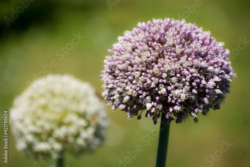 Fototapeta Kwitnący czosnek w ogrodzie. obraz