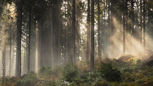 Billede på lærred Sunlight Streaming Through Trees In Forest
