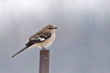 Northern Mockingbird, Mimus Polyglottos, Perched With Snow Falling