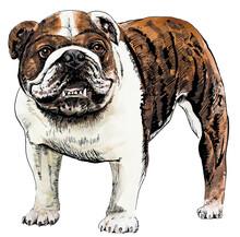 Brown English Bulldog Drawn In Watercolour And Ink