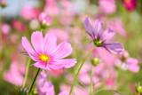 Fototapeta Kosmos - Close-up Of Pink Cosmos Flower