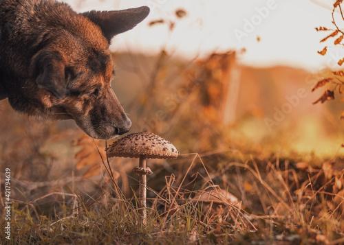 Vászonkép Dog Looking For Mushroom