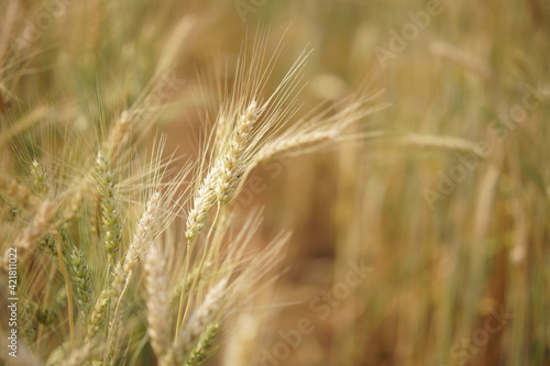 Fototapeta wheat barley rice growing in paddy field in farmland