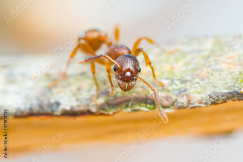 Tableau sur Toile Tiny red ant is watching you close up