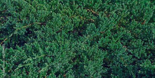 fragment of creeping on the ground juniper Fototapeta