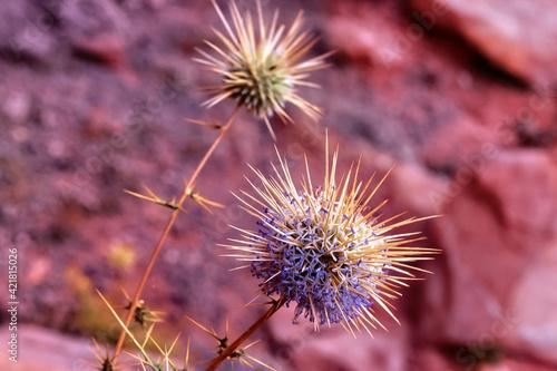 Fotografia, Obraz Flowering prickly plant in dry desert sand Wadi Rum in Jordan.