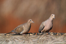 Mourning Dove Feast On Top Of The Fence Post On Freezing Winter Day With Bright Sun