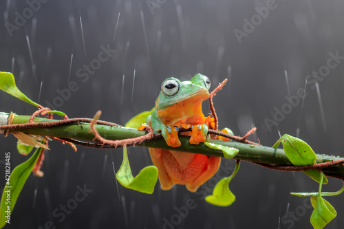 Canvas Print Tree Frogs, Tree Frogs On The Leaves
