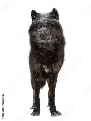 canadian black wolf during snowfall isolated on white background