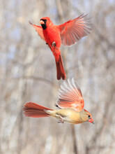Northern Cardinal Family Flying, Quebec, Canada