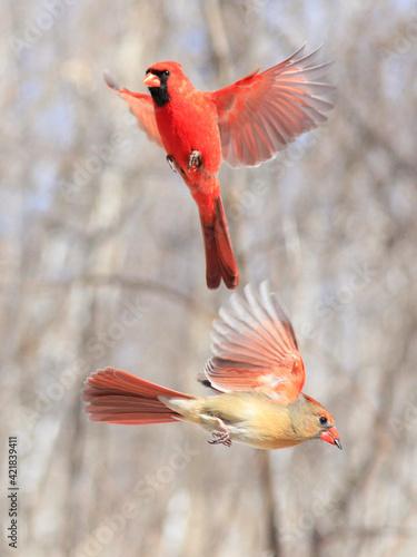 Canvastavla Northern Cardinal family flying, Quebec, Canada