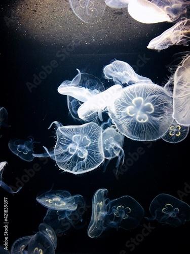 Fotografie, Obraz High Angle View Of Jellyfish Swimming In Sea