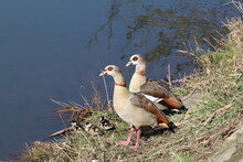 Nil Geese Couple With Tree Goslings On The Riverside Of Lahn In Germany. Selected Focus.