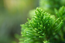 Selective Focus Shot Of Green Thuja Plant Leaves