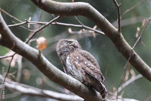 Eurasian pygmy owl (Glaucidium passerinum) Swabian Jura