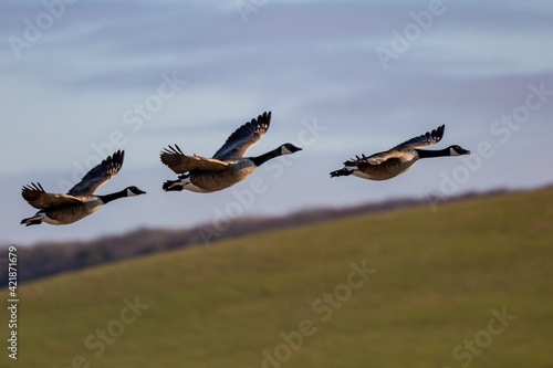 Fototapeta Canada Geese Flying over the South Downs in Sussex