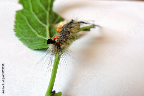 Fotografía A rusty tussock moth caterpillar with four yellow tufts of hair on the top and r